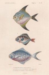 Butterfish: Blue Butterfish (Stromateus fiatola), Star Butterfish (Peprilus longipinnis) and Rondelet's Butterfish (Seserinus Rondeletii).