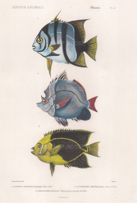 Spadefish: Banded Spadefish (Ephippus faber), Horned Bannerfish (Taurichthys varius) and Rock Beauty Angelfish (Holacanthus tricolour).