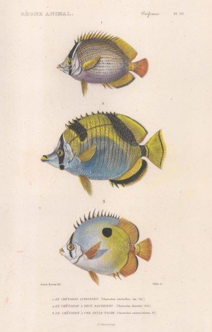 Butterflyfish: Speckled Butterflyfish (Chaettadon citrinellus), Blackwedged Butterflyfish (Chaetodon dizoster) and Teardrop Butterflyfish (Chaetodon unimaculatus)