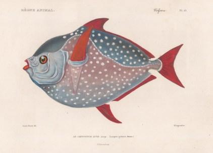 Spotted Moonfish (Lampris guttatus)