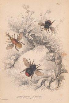 Bees: Orange tailed Bumblebee (Bombus lapidarius) and a Cander Bumblebee (Bombus muscorium).