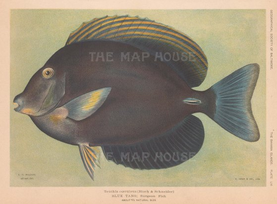 Surgeon Fish (Teuthis coeruleus) from the Bahamas.