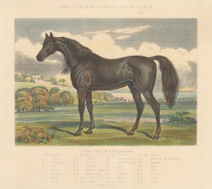 Syrian Turkman owned by Napolean III with key to terms used for the anatomy of a horse.