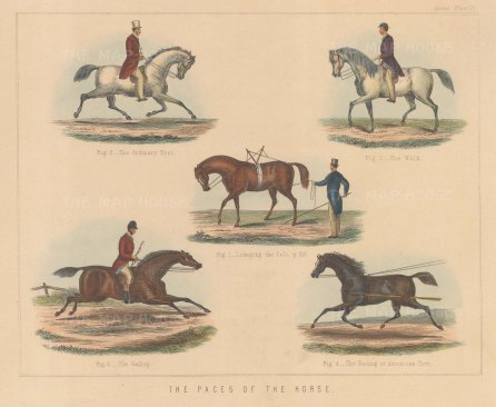 Five paces; Lunging, Trot, Walk, Gallop and Pacing Trot.