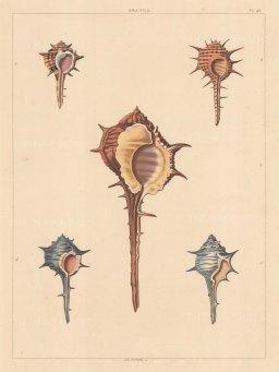 Univalves: Genus Aranea: 1. Aranea Fasciata, 2. A. Aculeata, 3. A. Conspicua, 4. A. Cinerea, 5. A. Pallida.
