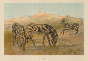 "Warner & Co.: Zebra. 1894. An original antique chromolithograph. 6"" x 4"". [NATHISp7317]"