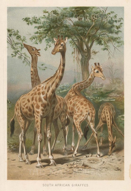 "Warner & Co.: Giraffes. 1894. An original antique chromolithograph. 4"" x 6"". [NATHISp7320]"