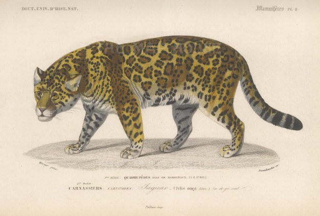 Felis onca originating from Central and South America.