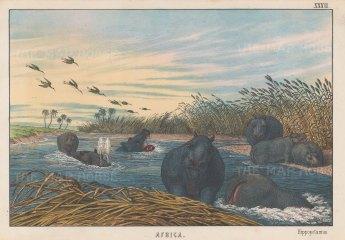 "Edmonston & Douglas: Hippopotamus. 1860. An original antique chromolithograph. 10"" x 7"". [NATHISp7996]"