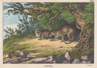 """Edmonston & Douglas: Leopards. An original antique chromolithograph. 10"""" x 7"""". [NATHISp8000]"""