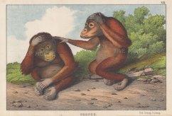 "Edmonston & Douglas: Orangutan. 1860. An original antique chromolithograph. 10"" x 7"".[NATHISp8002]"