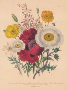 Poppy: 1. Oriental 2. Alpine 3. Orange Red 4. Common Welsh 5. Large-flowered Prickly 6. Canadian Bloodroot 7. Cordate-leaved Macleaya