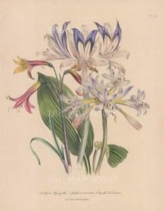 Griffinia: Hyacyntha, Intermedia and Phycella Herbertiana.