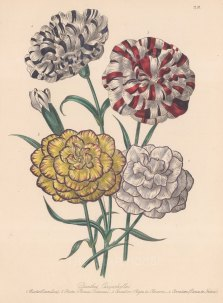 Dianthus: 1. Pictee Emmeline 2. Picotee Princess Frederick, 3. Bijon de Clement carnation 4. Prince de Nassau carnation