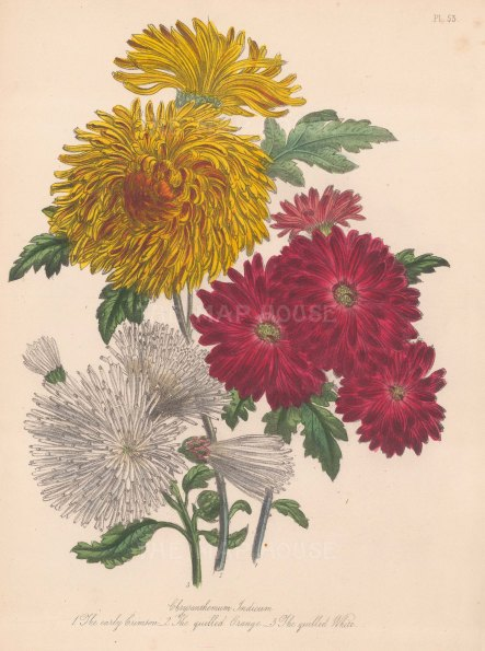 Chrysanthemum Indicum. 1. Early Crimson 2. Quilled Orange 3. Quilled White
