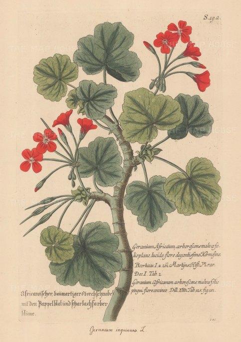 Pelargonium: Scarlet Geranium: Geranium inquinans.