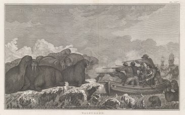 Chukchi Sea in the Arctic Ocean. Hunting of Sea Horses. After John Webber artist on the Third Voyage. Dutch Edition