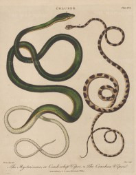 Viper (Coluber): Coach whip Viper (Mycterizans) and Chenchoa Viper. After Albertus Seba. Engraved by John Pass.