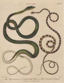 Viper (Coluber): Coach whip Viper (Mycterizans) and Chenchoa Viper. After Albertus Seba. Engraved by John Pass.