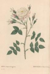 Rosenberg Rose. Rosa Rosenbergiana.