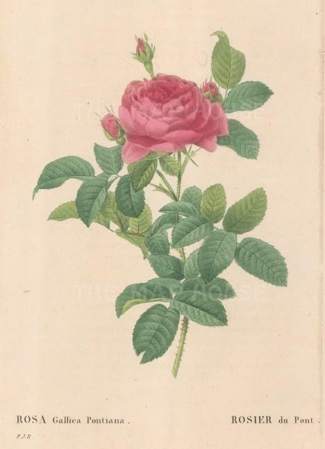 Bridge Rose. Rosa Gallica Pontiana