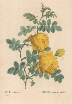 Yellow Sulfur Rose. Rosa sulfura.