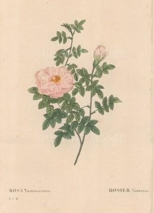 Bush Rose. Rosa Vantenatiana.