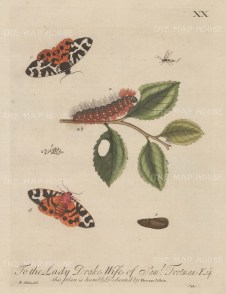Caterpillar: Silk Caterpillar on Plum Tree with chrysalis, ichneumon and moth. Dedicated to the Lady Drake