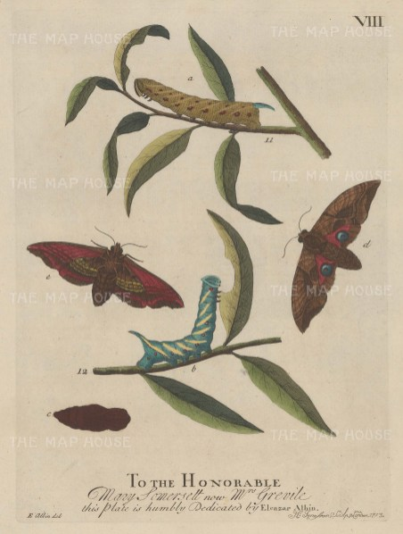 Hawk-eyed Caterpillar on Willow Tree with further caterpillar, chrysalis and moths. Dedicated to the Honorable Mary Somersett.