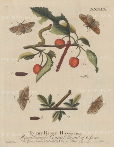 Looper caterpillar with chrysalis and moths on a Heart-cherry Tree and Blackthorn Bush. Dedicated to the Countess of Essex