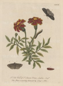Caterpillar on the African Marigold with chrysalis and moths. Dedicated to John Ward of St. Clements Danes.