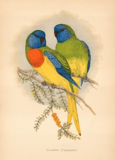 Splendid Parakeet named by John Gould and indigenous to Australia.