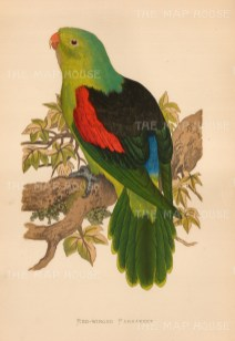 First described by German naturalist Johann Gmelin in 1788, it is indigenous to Australia and Papua New Guinea.