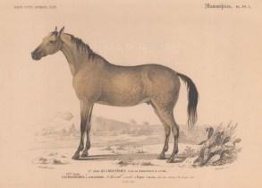 Equus caballus originating from the Arabian peninsula