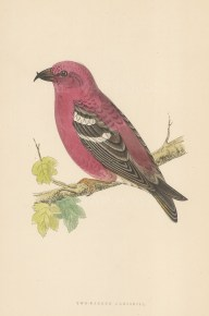 "Morris: Two Barred Crossbill. 1895. An original hand coloured antique wood engraving. 5"" x 8"". [NATHISp7385]"