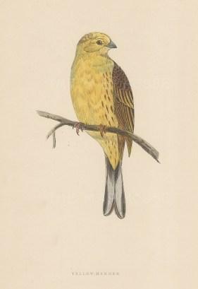 "Morris: Yellowhammer. 1895. An original hand coloured antique wood engraving. 5"" x 8"". [NATHISp7386]"