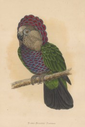 Hawk headed Parrot indigenous to the Amazon.