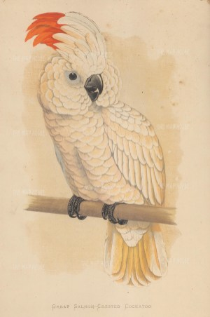 Great Salmon Crested Cockatoo indigenous to the Seram archipelago in Indonesia.