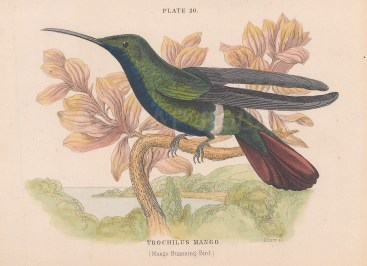 Trochilus Mango.