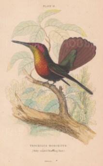 Trochilus Moschitus.