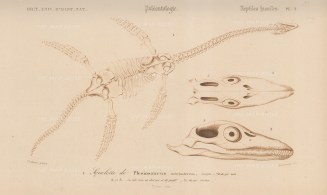 Plesiosaurus. Fossil remains with details of skull