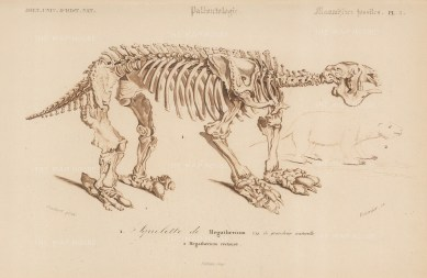 Megatherium. Lateral skeletal view of the prehistoric elephant-sized sloth.