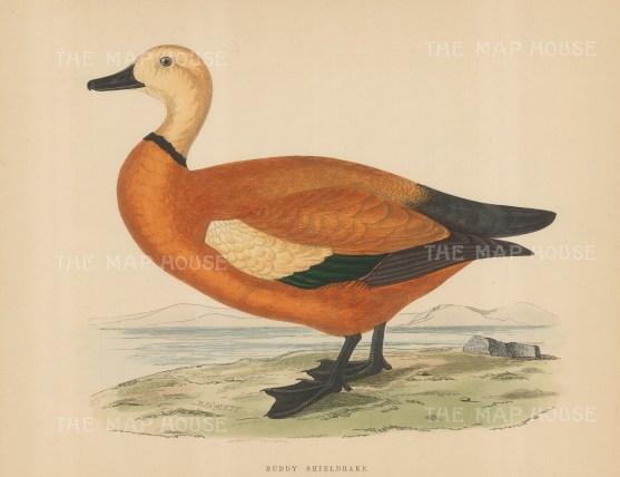 "Morris: Ruddy Shieldrake. 1869. An original hand coloured antique lithograph. 11"" x 10"". [NATHISp7550]"