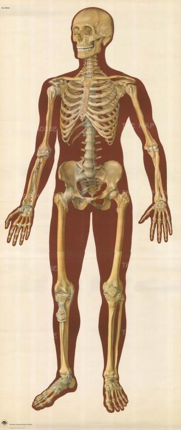 Life size anterior view.