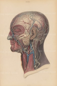 Lymphatic system. Plate C