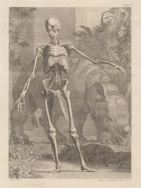 PAIR. Skeleton and fourth order of muscles by Jan Wandelaar. Anterior view with Clara, the Indian Rhinoceros who became a celebrity throughout Europe.