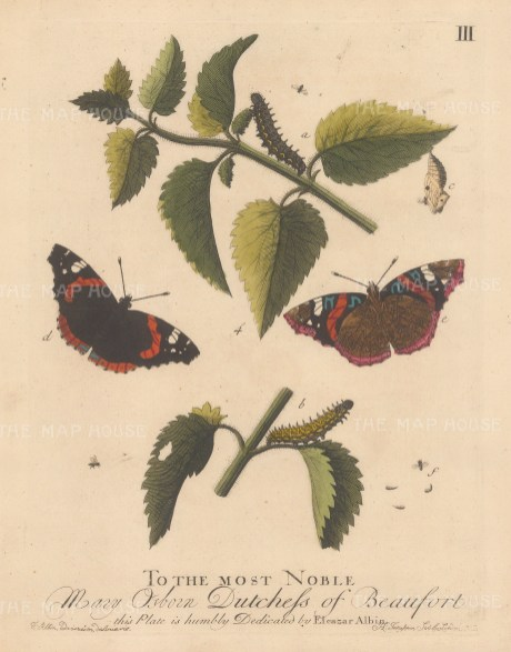 Caterpillars: Admiral caterpillar on Nettle with butterflies, chrysalis and Ichneumon Fly. Dedicated to the Duchess of Beaufort.