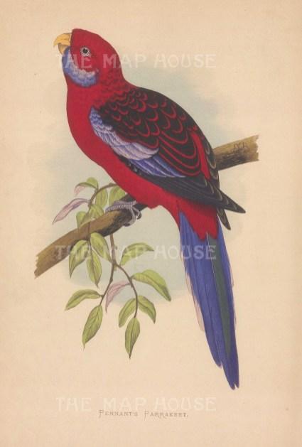 Crimson Rosella Parrot ( Pennant's Parakeet) indigenous to Australia.
