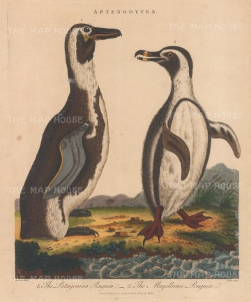Patagonian Penguin and Magellanic Penguin. After George Edwards. Engraved by John Pass.