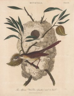 African Warbler with nest. Engraved by John Pass.